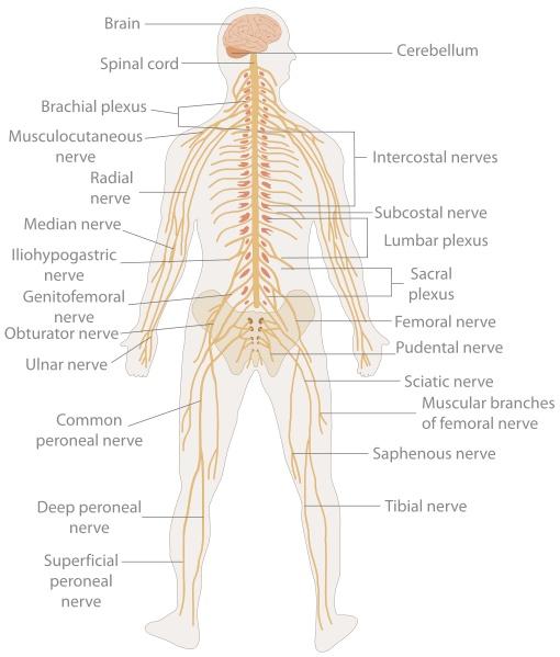 Human Body Meridian Chart Amp The Nervous System Yoziki